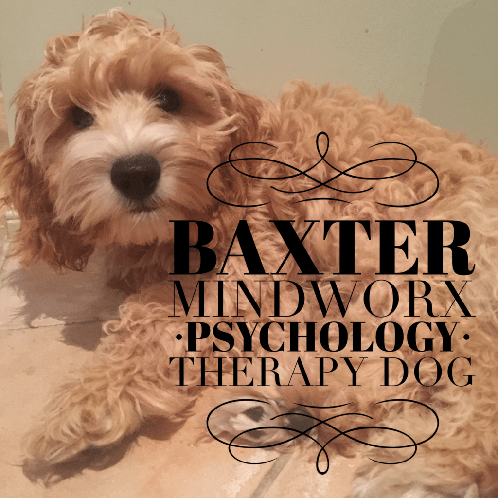 BAXTER,  Mindworx Psychology Therapy Dog